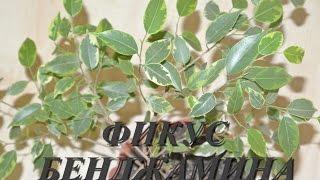ФИКУС БЕНДЖАМИНА УХОД, ПОЛИВ ФИКУСА В ДОМАШНИХ УСЛОВИЯХ Ficus benjamina
