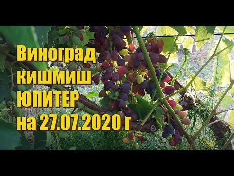 Виноград кишмиш ЮПИТЕР на 27.07.2020 г.