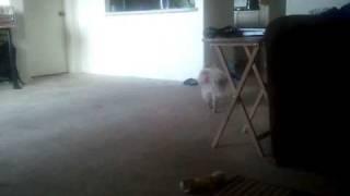 Pomeranian Dont Like To Eat Alone!!