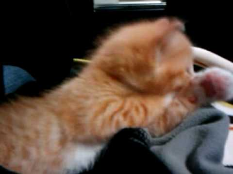 Orion Kitten Video