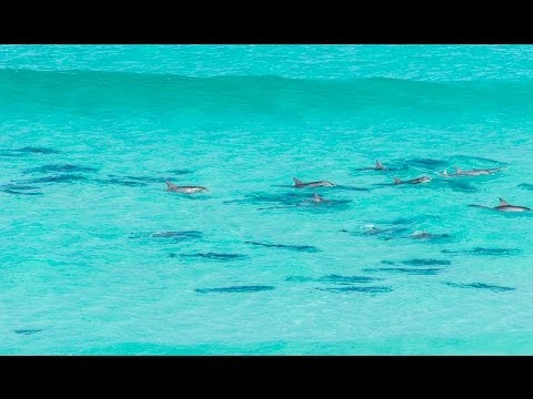 Dolphins Playing In The Surf, Almonta Beach, Eyre Peninsula, SA
