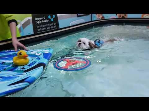【Pet's Swimming Pool】Mei Mei ❤❤ #ShihTzu