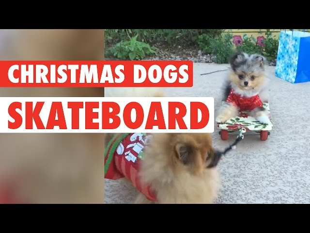 Christmas Dogs Ride A Skateboard