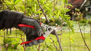 How to prune Apricot trees