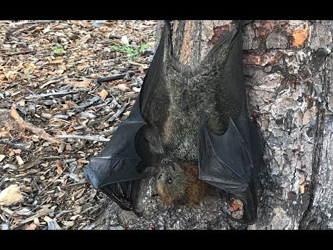 Rescuing a flying-fox hanging on a tree trunk:  this is Argyle the Bruce