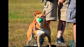 Application du Medical Training au chien