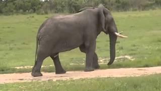 Słoń afrykański -dziki świat Afryki ,,Safari