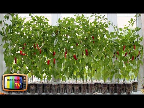 КАК ВЫРАСТИТЬ ГОРЬКИЙ ПЕРЕЦ В КОМНАТНЫХ УСЛОВИЯХ? | выращивание | полезное | рассада | растет | почему | плохо | перца | перец | poleznoe | тв