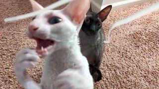 Cornish Rex Cats Attack!