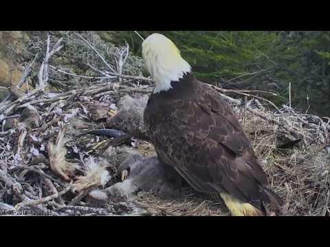 Bald eagle reacts to earthquake