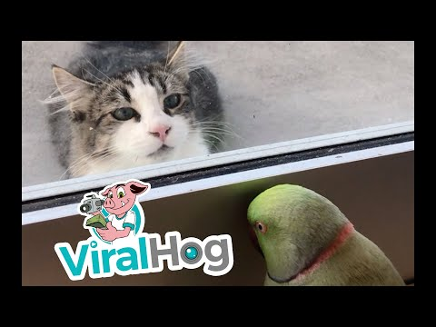 Digital Riggs - Parrot Plays Peek-A-Boo With Cat