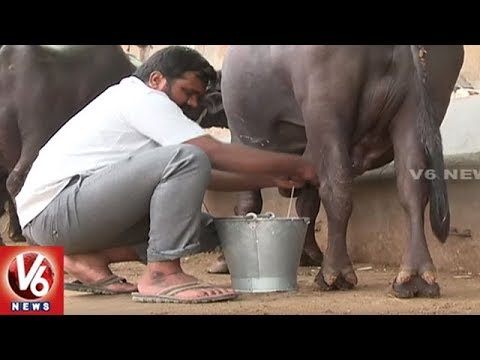Consumer Demand Increases For Organic Buffalo Milk In Hyderabad | V6 News