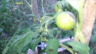 warzywa w mojej szklarni w ogrodzie:pomidory,papryka bazylia