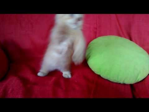 Gato Lambkin cat