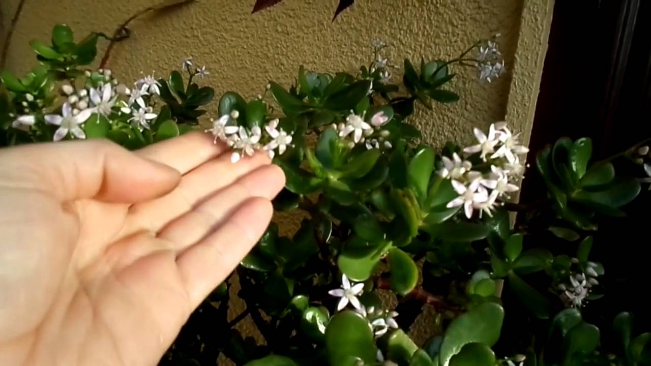 How to get your jade plant money plant to flower crassula ovata how to get your jade plant money plant to flower crassula ovata youtube mightylinksfo