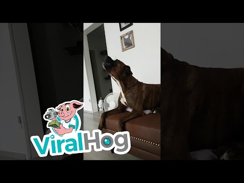 The Randy, Jamie and Jojo Show  - Cute Boxer Dog Sings Just Like The Passing Siren Outside