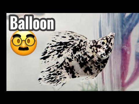 Balloon Molly Fish Tank Care - Aquarium Deformity?