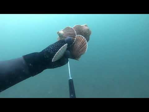Как найти морского гребешка?