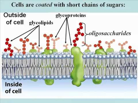 biochemical introduction protein carbohydrates and lipids An introduction to protein biochemistry and protein purification using green  carbohydrates, lipids,  11:115:321 ethics in biochemical research.