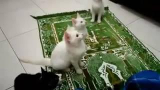 Video Kucing joget sambil zikir download MP3, 3GP, MP4, WEBM, AVI, FLV Desember 2017