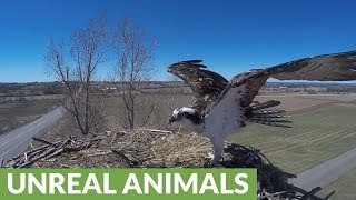 Nest camera captures birds of prey in ferocious battle for fish