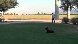 European - Doberman - Pinscher - On/off Leash - Obedience Training - Black Abby