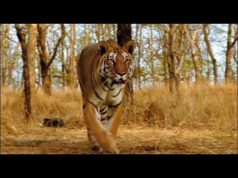 ultimate family of big cats lion tiger cheetah jaguar hd