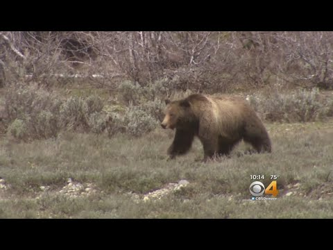 Judge To Hear Arguments On Controversial Grizzly Hunt In Wyoming