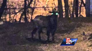 Lowell goat eludes capture, still on the lam