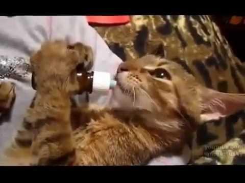 Những màn pha trò ngộ nghỉ của các chú mèo đáng yếu ( Bingu Mai Phượng )
