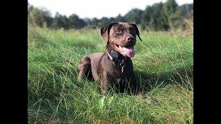 Tunkhannock Dog Trainers ||| OLK9 Scranton ||| 1 Year Old Lab Mix, Bella