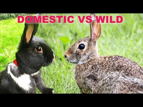 The Difference Between Wild & Domestic Rabbits!