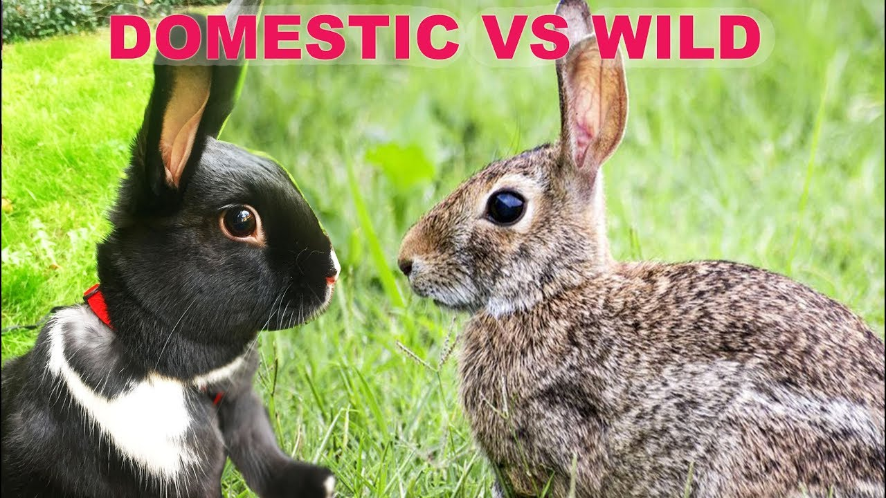 The Difference Between Wild Domestic Rabbits Youtube