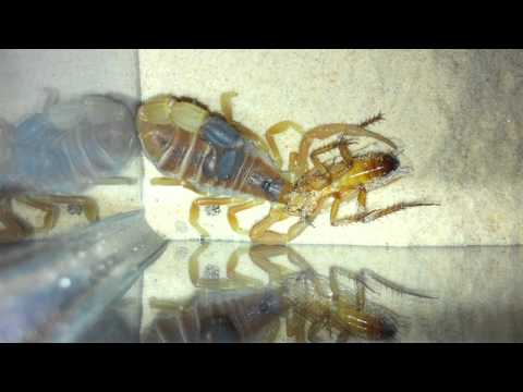 Parabuthus Liosoma (African Black-Tipped Scorpion) - Vid1 Part2