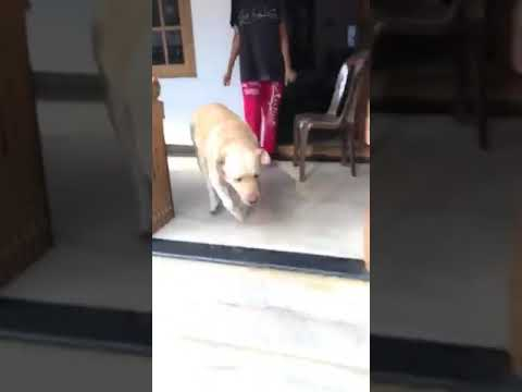 Labrador dogs meet their owner after long time one year #KERALA #thrissur #INDIA #oscar #oscu❤