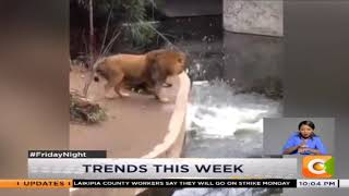 News Trends : Fall of the lion into a pool of water