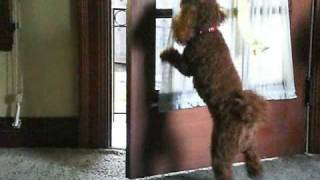 Charlie The Red Poodle Dog Tricks
