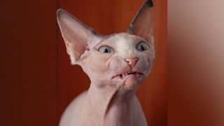 Funniest SPHYNX CATS!  You'll have LAUGH of your day :)