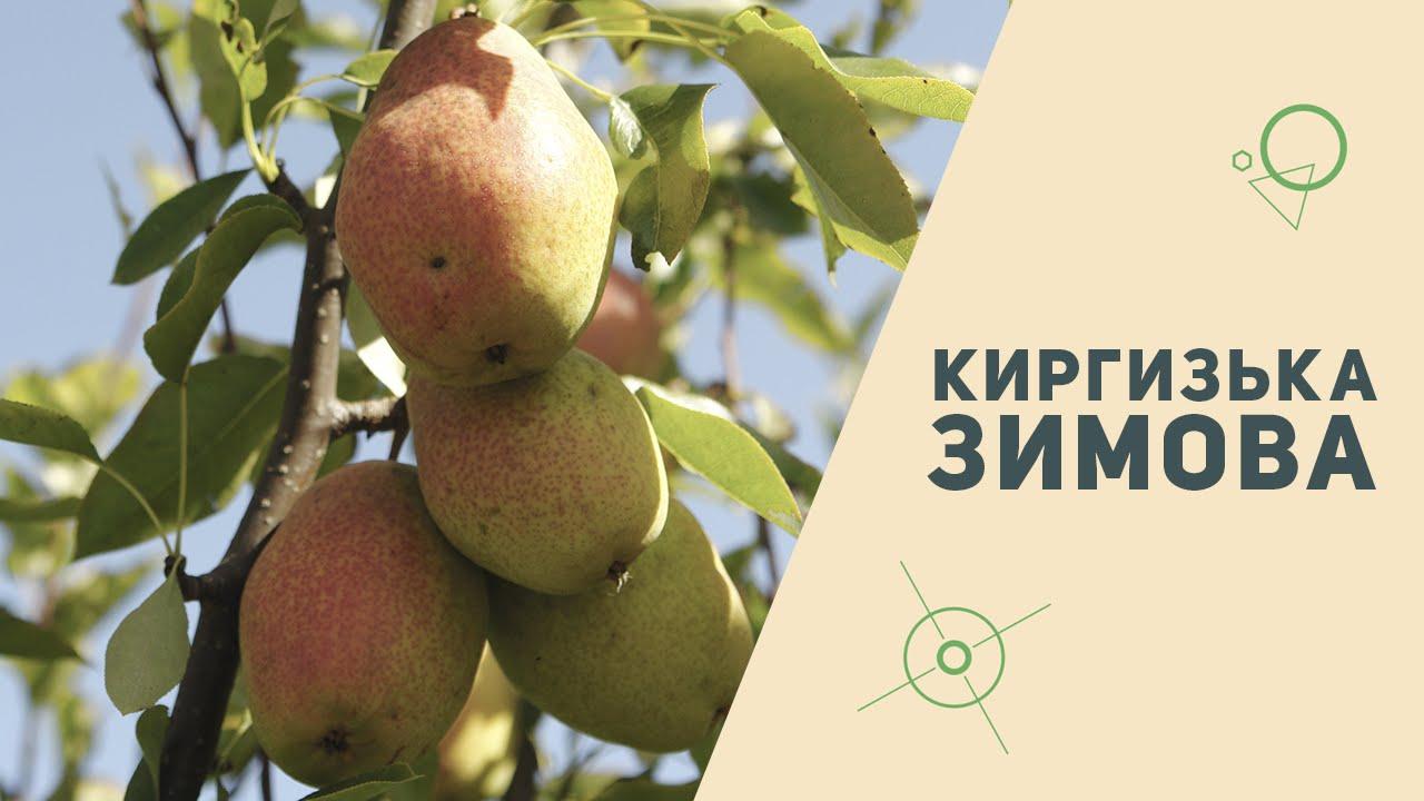 груша киргизская описание