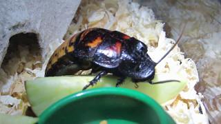 Мадагаскарский таракан. Ест, собственно говоря.