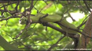 Rare Green Mamba Attacks (Actually a Boomslang!)