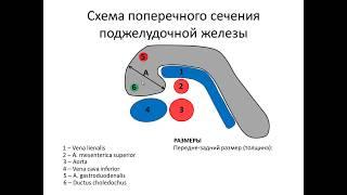 Ультразвуковая  анатомия поджелудочной железы