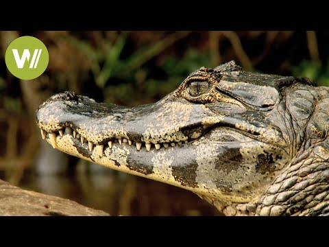 Secret Brazil: amazing aquatic wildlife | Animal documentary - Part 2/2