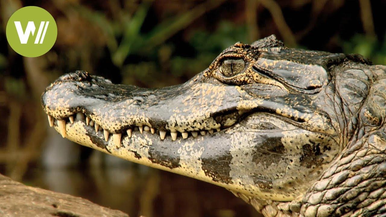 Secret Brazil: amazing aquatic wildlife   Animal documentary - Part 2/2