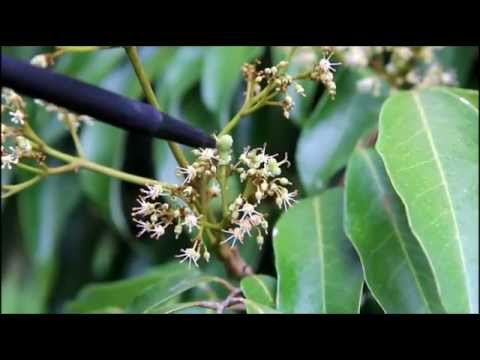 Lychee Flowering
