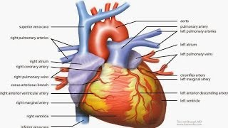 Your Heart - The Most Important Muscle In Your Body