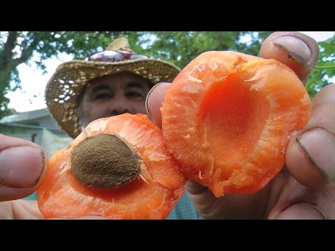 The Future of Apricots in Manitowoc Wisconsin