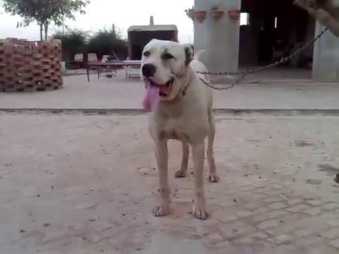Pure White Bully Dog Kharo || Pure White bully kutta Puppy