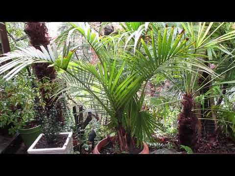 Kentia Palms in our Northern Climate