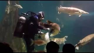Arapaima Aquaria KLCC Feeding Time